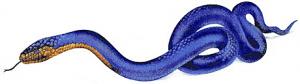 Eastern-Indigo-Snake